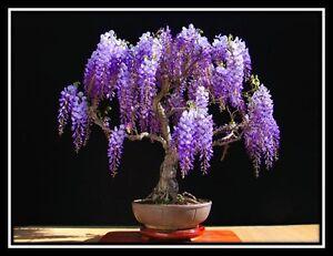 JACARANDA mimosifolia - 60 Bonsai seeds - Tree - SOW ALL YEAR