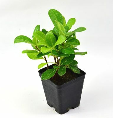 40 pz vaso 7 Pitosforo Cespuglio Siepe arredo giardino Pianta di Pitosforo