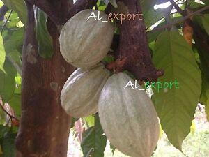 criollo /& trinitario 4 Cocoa pods  ~in 2 varities LIVE Tropical fresh Fruit