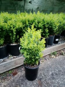 ENGLISH-BOX-BULK-OFFER-100-PLANTS-30cm-for-400-00-Garden-Hedge-Plant