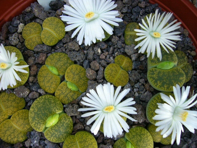 Lithops lesliei v albinica, living stone rock stone cactus cacti seed 30 SEEDS