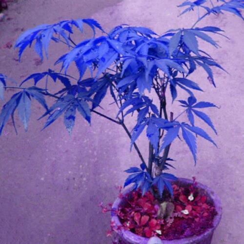 10X Seeds Plants Potted Maple Blue Rare Bonsai Beautiful Tree.Garden Planting^\