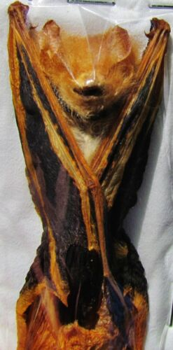"""Lot of 10 Asian Painted Bat Kerivoula picta Hanging 3/"""" Taxidermy FAST FROM USA"""