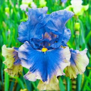 2 Iris Bulbs Flowers Bonsai Stunning Plant Resistant Fragrant Garden Balcony Top