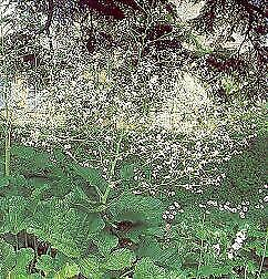 Crambe cordifolia     100 seeds