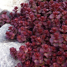 Red Sedum Seeds, Voodoo, Red Stonecrop Sedum Seeds, Heirloom Ground Cover, 50ct