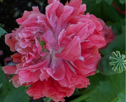Poppy Frosted Salmon Peony BOGO 50/% off SALE 100 Seeds