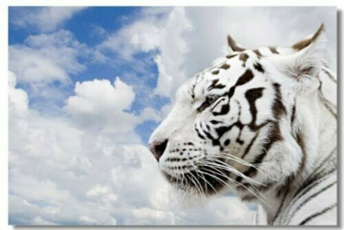 Poster White Tiger Room Art Wall Cloth Print 207