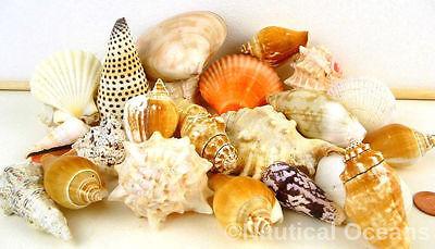 350g Mixed Sea Shells Large Aquarium Craft Beach Indian Table Wedding Decoration