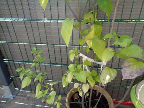 100 St Schwarze Nachtschatten Samen // Paslen Семена Паслёна Solanum nigrum
