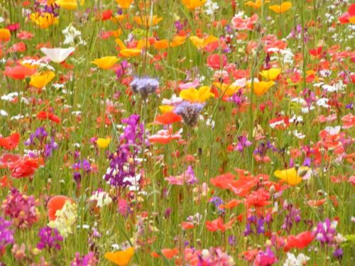 WILD FLOWER SEEDS MEADOW PLATINUM BEE BUTTERFLY 53a WILDFLOWERS /& GRASSES 500g