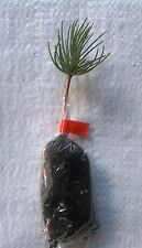 Deodara Cedar, Cedrus Deodara Christmas Tree, Plug Plant Seedlings.