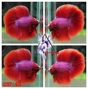 [237_A3]Live Betta Fish High Quality Male Fancy Over Halfmoon 📸Video Included📸