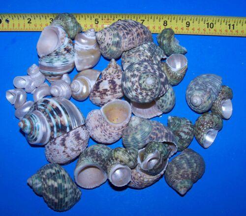 30 assorted TURBO HERMIT CRAB SEASHELL SEA SHELL FISH TANK CRAFTS DECOR