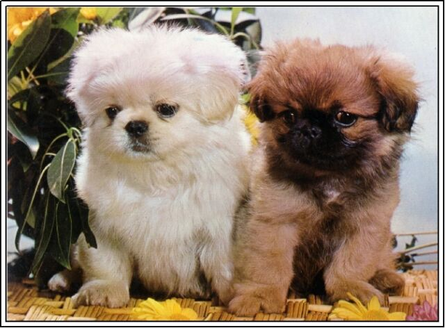 4pack Dogs Pomeranian Dog Puppies Puppy Greeting Stationery