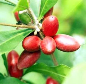 20Pcs-Synsepalum-Fruit-Seeds-Rare-Kind-Tasty-Bonsai-Garden-Organic-Eat