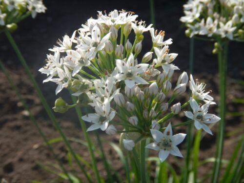 Schnitt-Knoblauch Allium tuberosum Chinesischer Lauch hoher Vitamin C Gehalt