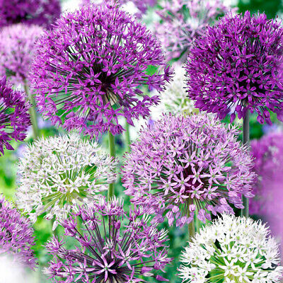 Ready to Bloom This Spring! 3 PRE-CHILLED Large Flowering Allium  Bulbs