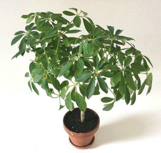 Schefflera Dwarf Arboricola X20 Seeds Dwarf Umbrella Tree Suitable For Bonsai For Sale Online Ebay