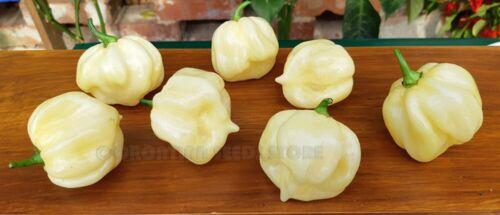 10 Hot Chili Pepper Seeds Trinidad 7 Pot Blanc Légumes organiques-Haute Qualité