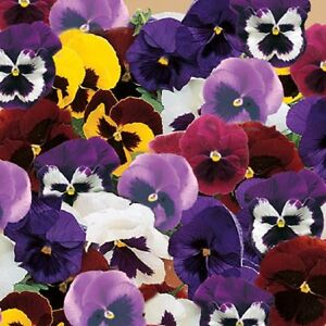 50-Pansy-Seeds-Majestic-Giant-II-Mix-FLOWER-SEEDS