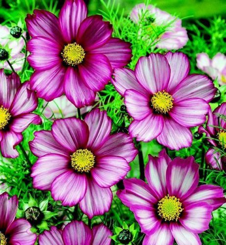 Mixed Cosmos Seed, Candystripe, Heirloom Cosmos Seeds, Bulk Cosmos Seeds, 400ct