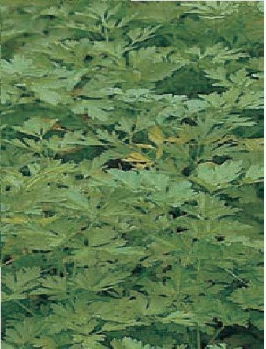 Vegetable - Parsley - Plain Leaf - 600 Seeds - Economy