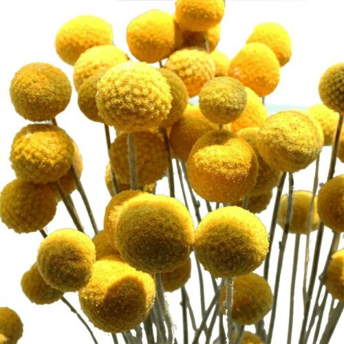 50 seeds Pycnosorus globosus Billy Buttons