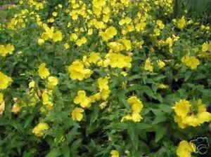 Balkon-Terrasse-Wintergarten-Samen-exotische-Zierpflanze-selten-STERNBALSAM