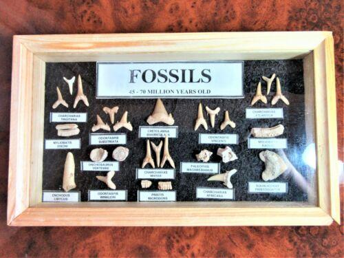 picture frame fossil shark /& marine dinosaur teeth in wood /& glass display box