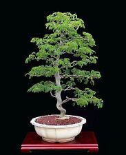 BONSAI TREE INDOOR/ OUTDOOR BRAZILIAN RAIN TREE (Pithecellobium tortum)