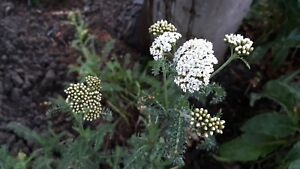 Yarrow-Achillea-millefolium-1-2-years-old-large-pot-Pick-up-only-Cardiff