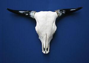 Rinderschädel 90 Cm Spannweite Stierschädel Sinnvoll Deko Schädel Longhorn #19