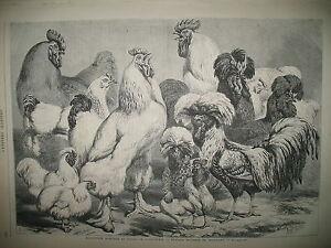 GALLINACeS-COQ-POULES-BAL-HOTEL-DE-VILLE-CANAL-AMSTERDAM-HAITI-Pdt-GRAVURES-1870
