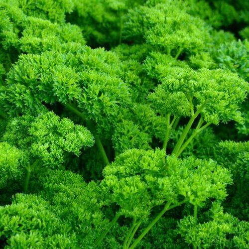 plante aromatique légumes potager méthode BIO 500 Graines de Persil Frisé