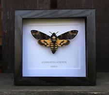 Deaths Head Hawk Moth (Acherontia atropos) Framed Moth