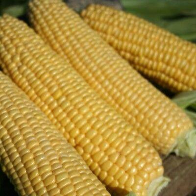 Kings Seeds Sweet Corn Lark F1-50 Seeds