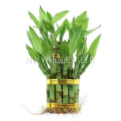 Braided 8-Stalk Trellis Lucky Bamboo w//16ft Gold Wire NW Wholesaler