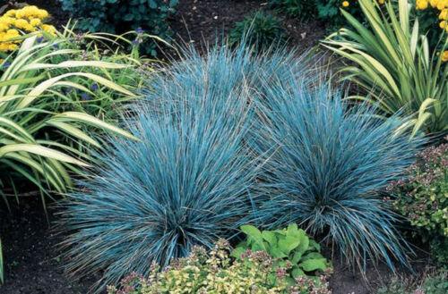 BLUE FESCUE SEEDS FESTUCA GLAUCA ORNAMENTAL GRASS POT PATIO GARDEN 300 SEED PACK