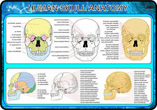 Human Skull Anatomy (Anatomy Medical A4 Poster) BEST!