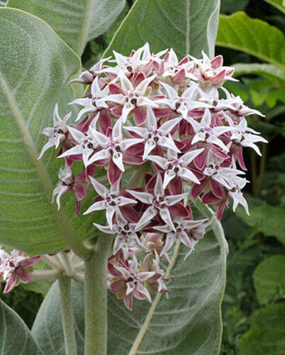 Perfect for home landscaping and use in the butterfly garden !! Showy Milkweed