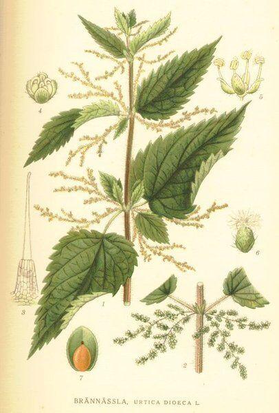 500 Semillas de Ortiga Mayor, plantas medicinales (Urtica Dioica)  seeds