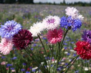 Cornflower-Polka-Dot-Mixed-Centaurea-Cyanus-5g-Approx-1000-Flower-Seeds
