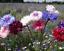 Cornflower-Polka-Dot-Mixed-Centaurea-Cyanus-5g-Approx-1000-Flower-Seeds thumbnail 1
