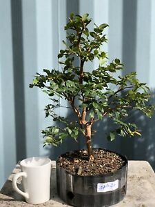 Jaboticaba Pre Bonsai Tree By The Bonsai Supply Ebay