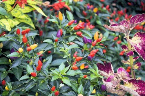 Heirloom Non GMO  Rainbow Colorful Fruit Prairie Fire Pepper Seeds