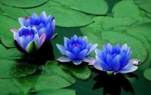 Détails sur Bonsai LOTUS/Water Lily Fleur Bol,Pond/5 fresh seeds/parfum  mini Lotus Bleu, afficher le titre d\u0027origine