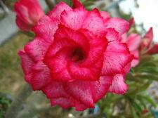 Adenium Obesum / Desert Rose - CX Jendamanee - Perennial Bonsai Seeds (5)