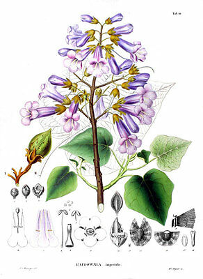 500 semillas de Paulonia Imperial, Kiri (Pawlonia tomentosa)  seeds
