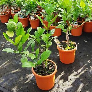Citrus-Hystrix-makrut-Kaffernlimette-Gewuerzpflanze-essbar-Thailand-B12